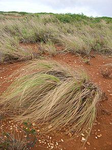 eragrostis curvula wikipedia