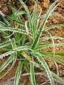 Starr 050831-4292 Luzula hawaiiensis.jpg
