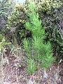 Starr 050831-7778 Pinus radiata.jpg