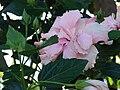Starr 061211-2244 Hibiscus rosa-sinensis.jpg