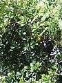 Starr 070403-6356 Artocarpus heterophyllus.jpg