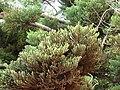 Starr 070404-6661 Araucaria cunninghamii.jpg