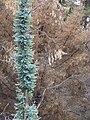 Starr 070908-9273 Eucalyptus globulus.jpg