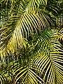 Starr 071024-9912 Chrysalidocarpus lutescens.jpg