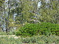 Starr 080604-6079 Casuarina equisetifolia.jpg