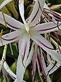 Starr 080606-6990 Crinum asiaticum.jpg