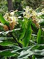 Starr 080716-9462 Hedychium flavescens.jpg