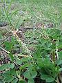 Starr 081230-0515 Indigofera hendecaphylla.jpg