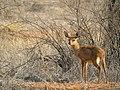Steenbok, Kalahari, Namibia (3926613041).jpg