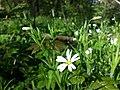 Stellaria holostea sl11.jpg
