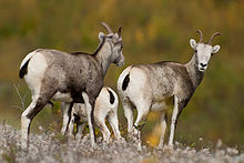 Stone Sheep British Columbia.jpg