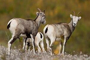 Dall sheep - Image: Stone Sheep British Columbia