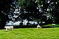 Strawberry Hill - Eamonn Cuniffe's cattle grazing - geograph.org.uk - 1612831.jpg
