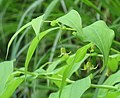 Streptopus amplexifolius RF.jpg