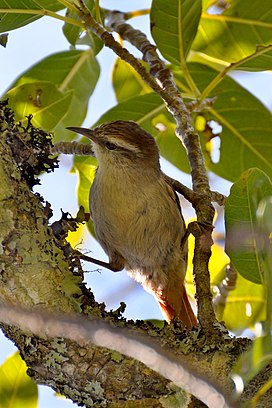 Stripe-crowned Spinetail (Cranioleuca pyrrhophia).jpg