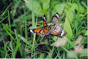 Striped Tiger butterflies at Biligiriranga Wildlife Sanctuary.jpg