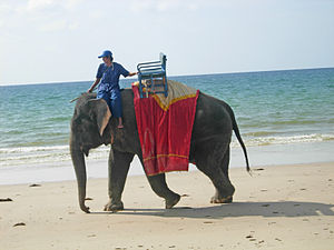 Elephant walking on the beach in Phuket