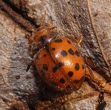 La Subcoccinella vigintiquatuorpunctata è un fitofago dannoso verso alcune leguminose foraggere