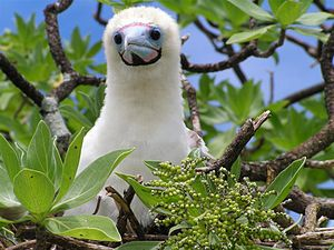 Red-footed booby - Red-footed booby