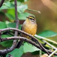 Sulpher-bellied Warbler (Phylloscopus griseolus)at Sindhrot near Vadodara, Gujrat Pix 175