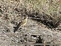 Sulphur-bellied Warbler (Phylloscopus griseolus) (48332457517).jpg
