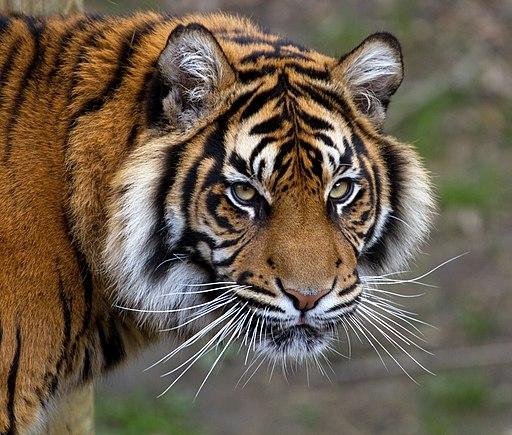 Sumatran Tiger 5 (6964685356)