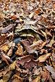 Sumska kornjaca (Testudo hermanni).jpg