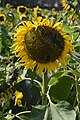 Sunflower 01.jpg