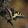 Swallowtail butterfly on a thistle (Papilio machaon).jpg