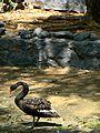 Swan Vandalur Zoo.jpg