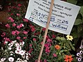 Sweet William from Lalbagh flower show Aug 2013 8210.JPG