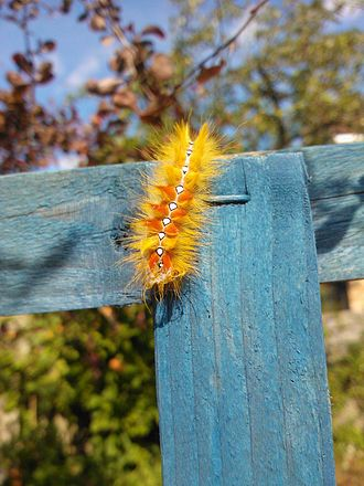 Sycamore (moth) - Larva on wooden fence