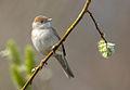 Sylvia atricappila vogelartinfo chris romeiks R7F4015.jpg