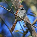 Synallaxis frontalis-Sooty-fronted Spinetail.jpg