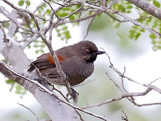 Red-shouldered spinetail Species of bird