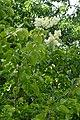 Syringa reticulata subsp. amurensis kz02.jpg
