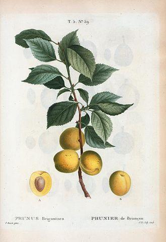 Prunus brigantina - Illustration by Pancrace Bessa, from Nouveau Duhamel, ou traité des arbres et arbustes que l'on cultive en France by Duhamel, 1812