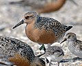 Tagged Red Knot (4034580885).jpg