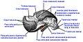Talus, medial face. ro.1.jpg