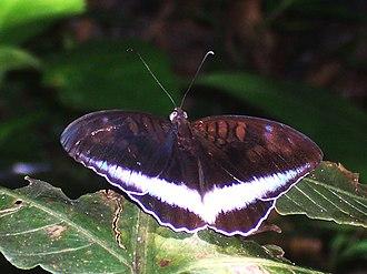 Limenitidinae - Tanaecia iapis (Adoliadini)