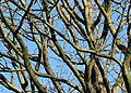 Tangle of branches, Queen's Wood - geograph.org.uk - 668162.jpg