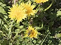 Taraxacum officinale - Common dandelion 02.jpg