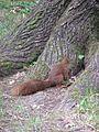 Tarnow Park Strzelecki wiewiorka 3.jpg
