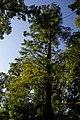 Taxodium 1 Rotenturm 002.jpg