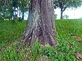 Taxodium distichum - trunk 01.jpg