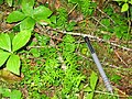 Taxus canadensis 4-eheep (5097478379).jpg