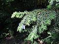 Taxus cuspidata in Odessa Botanical garden.jpg