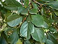 Terminalia phanerophlebia, loof, Manie van der Schijff BT, f.jpg