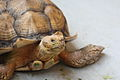 The African Spurred Tortoise, The Live Turtle & Tortoise Museum, Chinese Garden, Singapore (3774240625).jpg