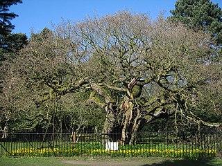 Allerton Oak Tree in Liverpool, UK